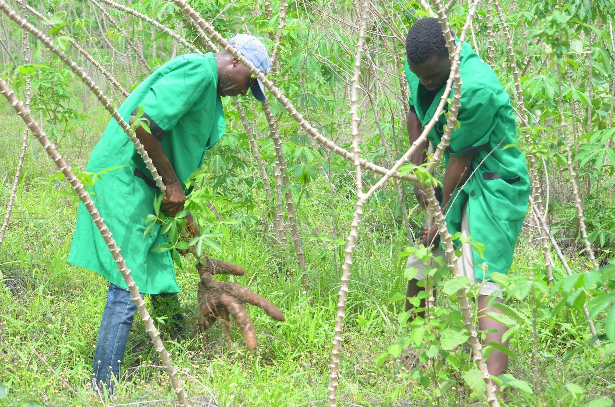 Cassava Harvesting at Xtreme Returns Farms