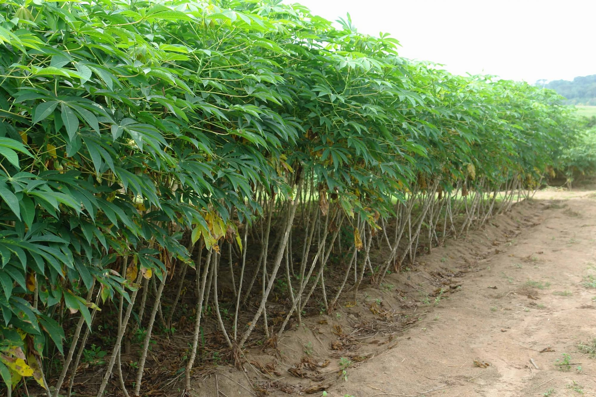 Pest Control Technique for Cassava Farming