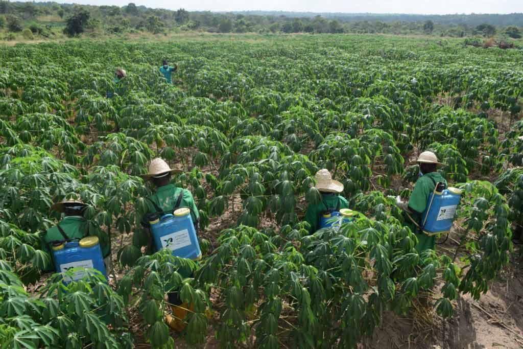 Cassava farm weeding at Xtreme Returns Farms, Nigeria