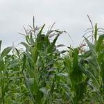 HOW TO SETUP A MAIZE FARM