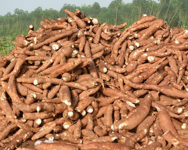 Cassava stand