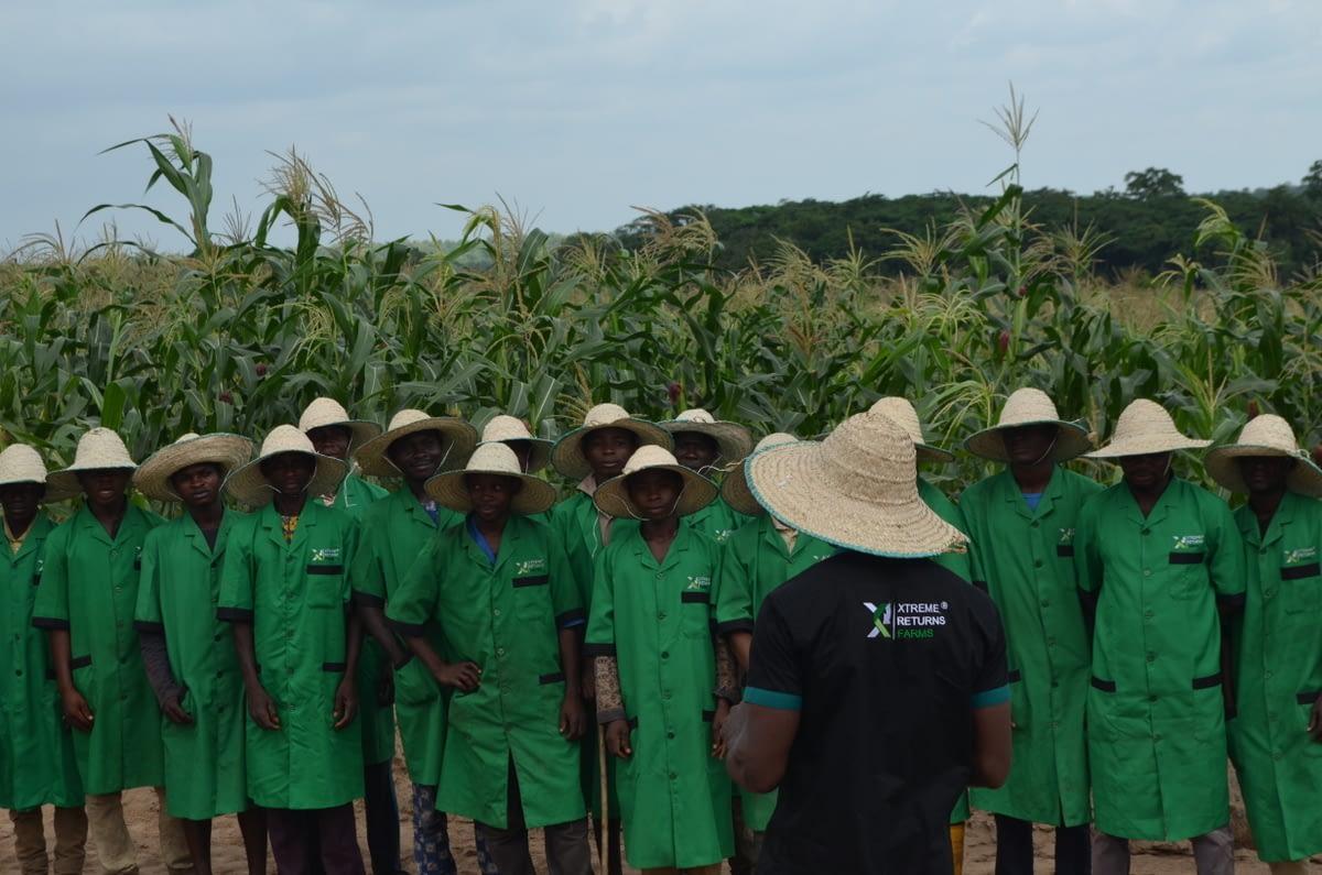 Maize farm weeding