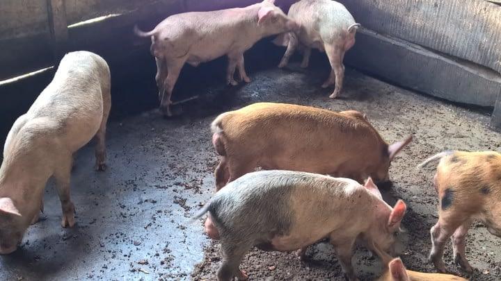 Pig Livestock Xtreme Returns Farm