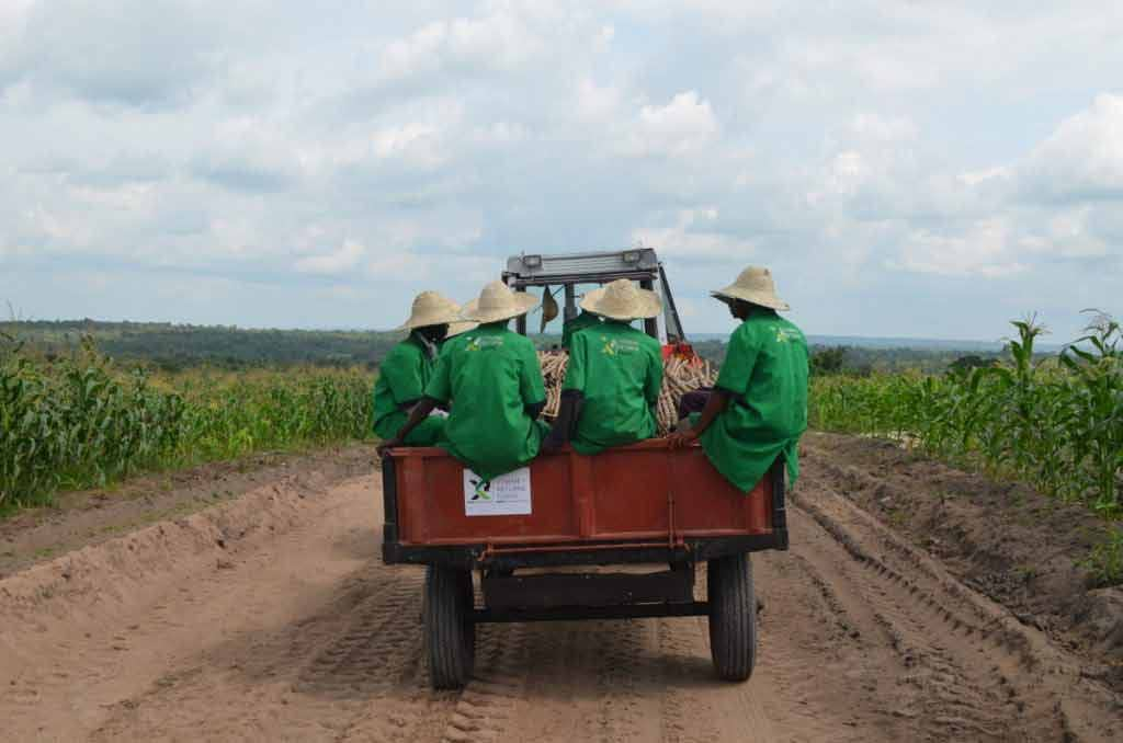 Cassava-farm-harvesting