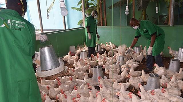 Poultry Farming Livestock Xtreme Returns Farm
