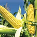 Weed Control Maize Cultivation