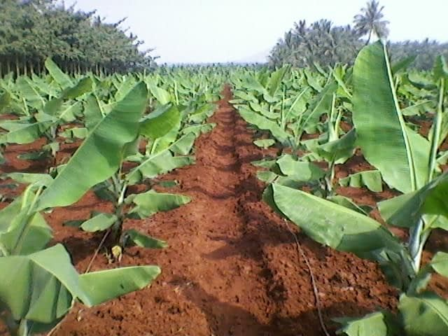 Plantain's Climatic Requirement