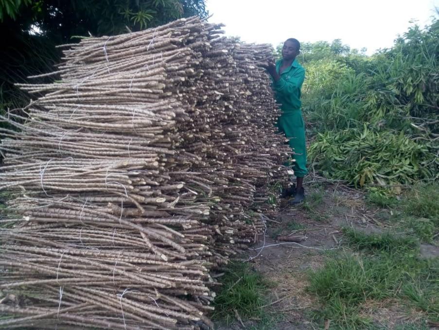 Cassava Stems at Xtreme Returns Farms