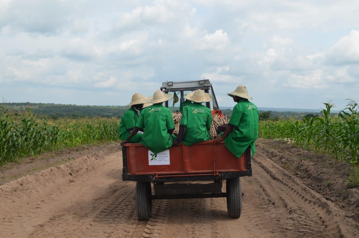 Cassava farm weeding